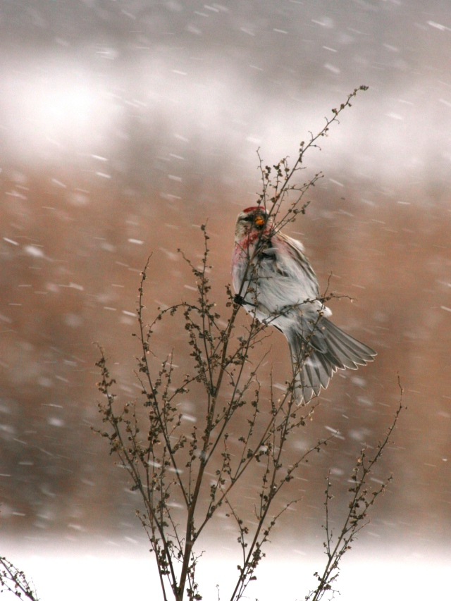 Redpoll in Driving Snow